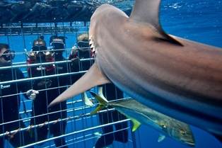 shark cage diving aliwal shoal